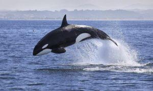 Chiêm bao mơ thấy cá voi sát thủ là số mấy? đánh con gì?